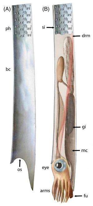 Reconstrucción del aspecto de un ammonite ortocónico