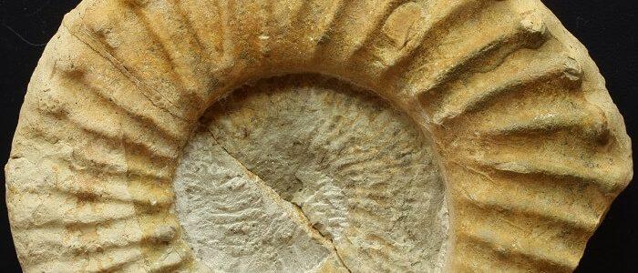 Detalle de los tubérculos de M. pricei