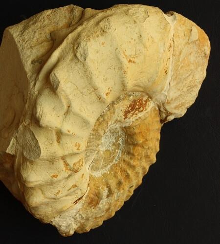 Detalle de la microconcha de M. inflatum