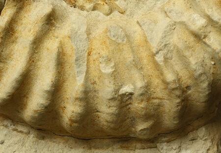 Detalle de M. inflatum con estrías sobre las costillas