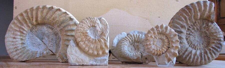 Diversos ammonites de la familia Brancoceratidae, subfamilia Mortoceratinae
