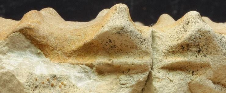 Mortoniceras nanum: detalle de laos tubérculos conectados